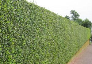 hedge-cutting-maintenance-bayswater